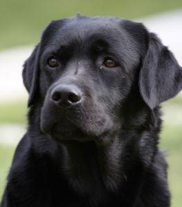 Anuedis Labrador allevamento