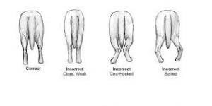 zampe posteriori
